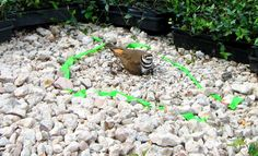 The Killdeer is calmly sitting on her nest even with the nursery closing around her.