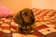 baby doxies