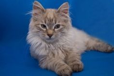 "♥CG♥ 97 Kurilian Bobtail Kitten- The variety is mostly known for its distinctive ""pom-pom"" kinked, short tail. Short- or long-haired, it has a distinct short, fluffy tail, ranging from 2 to 10 vertebrae. Crazy Cat Lady, Crazy Cats, Kittens Cutest, Cats And Kittens, Animals And Pets, Cute Animals, Best Cat Breeds, Bobtail Cat, Kitten Images"