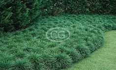 """Ophiopogon japonicus (standard Mondo grass) - ps/shade, height 6-10"""", spacing 8-12"""", dark green 1/8"""" leaf blades. spreads by underground stolons. SPACING 4-12"""" apart. 1gall=$1.50, 3gall=$7."""