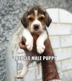 Excellent quality Beagle puppies for sale kolkata Baby Beagle, Beagle Puppies, Dogs And Puppies, Small Dog Breeds, Small Breed, Beagle Breeds, Cute Beagles, Shelter Dogs, Kolkata
