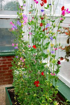 Climbing sweet pea | Flickr - Photo Sharing!