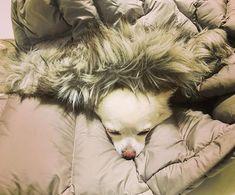 私のダウンの中で寝ちゃったからもう起こせません😂👍全ての物、人間も犬も猫も共用でございます✨ちょっとカメラ気がついてまた寝とる。。笑😆 #chihuahua #chiwawa #dog #pets #dogstagram #dogs #ふわもこ部 #ペット#愛犬 #チワワ #ちわわ #犬#白犬#犬 #いぬ #わんこ #散歩  #公園  #公園 #湖 #park #parkbogum #lake #木 #tree #いぬすたぐらむ #いぬのきもち #いぬバカ部 #いぬ部 #犬服 #犬好きな人と繋がりたい #犬バカ部