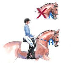 Horse Riding Tips, Horse Tips, Horse Exercises, Horse Anatomy, Horse Facts, Dressage Horses, Draft Horses, Horse Training, Horseback Riding