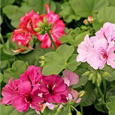 Geranio Varios colores. Planta de sol. Riego 3 veces por semana. Maceta 15 cm diámetro. Fertilización cada mes.
