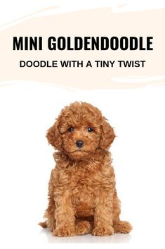 Mini Goldendoodle – Doodle with a Tiny Twist Mini Goldendoodle – Doodle with a Tiny Twist<br> We all know that Goldendoodle is a mix between a . Read moreMini Goldendoodle – Doodle with a Tiny Twist Full Grown Mini Goldendoodle, Goldendoodle Haircuts, Goldendoodle Miniature, Goldendoodle Grooming, Maltipoo Dog, Mini Goldendoodle Puppies, Doodle Dog Breeds, Miniature Dog Breeds, Mini Doodle