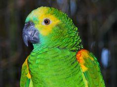 Blue-fronted Amazon (Amazona aestiva)