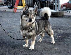 swedishvallhund6