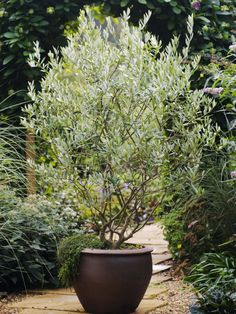 Awesome Planting A Potted Tree Olive Care Grow An Indoors Hgtv