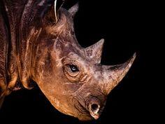 Cabeza de un rinoceronte