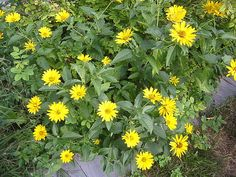 Cluster of false sunflowers on the west side of my house.