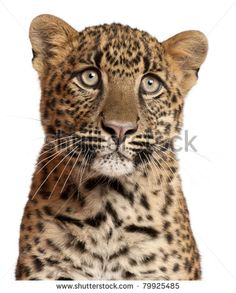 Close-up of Leopard, Panthera pardus, 6 months old, in front of white background - stock photo