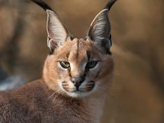 """The name Caracal is stemmed from a Turkish word """"karakulak"""" suggesting """"black ear."""" The Caracal was as soon as educated for bird searching in Iran as well as India. Small Wild Cats, Small Cat, Big Cats, Cool Cats, Nature Animals, Animals And Pets, Cute Animals, Caracal Caracal, Serval"""