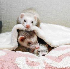 今日もへれながねーねやにーにを守るのだ! #ferret #pet #petstagram #instaferret #ferretgram