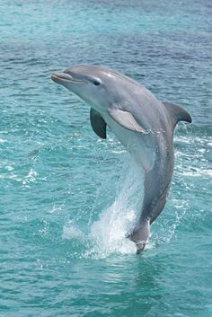 Dolphins range in size from the 1.7 m (5.6 ft) long and 50 kg (110 lb) Maui's dolphin to the 9.5 m (31 ft) and 10 t (11 short tons) killer whale. Several species exhibit sexual dimorphism, in that the males are larger than females. They have streamlined bodies and two limbs that are modified into flippers. Though not quite as flexible as seals, some dolphins can travel at 55.5 km/h (34.5 mph). Dolphins use their conical shaped teeth to capture fast moving prey. Animals Beautiful, Beautiful Creatures, Beautiful Fish, Animals And Pets, Cute Wild Animals, Tame Animals, Whales, Dolphin Images, Dolphin Photos