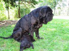 Neopolitan Mastiff with nursing pup