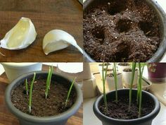 Grow garlic indoors using a clove from the grocery store - learn more about growing food from kitchen scraps. Herb Garden, Lawn And Garden, Indoor Garden, Vegetable Garden, Garden Plants, Indoor Plants, Outdoor Gardens, Terrace Garden, Diy Horta