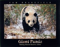Look Wow! Bring this impressive nature scenery art print poster which displays the image of the adorable Giant Panda walking in the snow Bamboo is sure to attract you and your guests towards it. It would be an idle gift for any wildlife nature lover. Get up and buy this product for its durable quality and high degree of color accuracy.