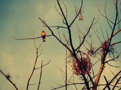a ringdove on the branch