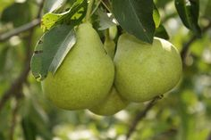 Yard and Garden: Fruit Trees | Iowa State University Extension and Outreach...cultivars for Iowa