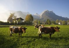 Image detail for -Cows in Lofer, Austria