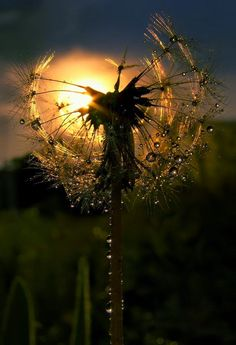 FLOWERS ♡ DANDELIONS ♡ PHOTOGRAPHY ♡ PHOTO Dandelions....My love