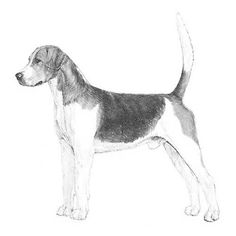 English Foxhound Dog Breed Information English Foxhound, Akc Breeds, Breakfast Tea, The Fox And The Hound, Game, History, Dogs, Animals, Historia