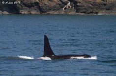 Whale Watching San Juan Island