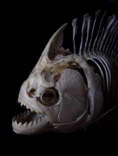 #OSTEOLOGIC http://fabforgottennobility.tumblr.com/post/101896876728/theoddcollection-piranha-skeleton