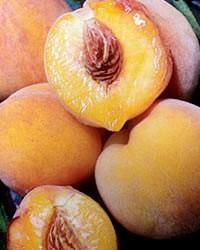 The Reliance Peach is the most cold-hardy peach tree you can get. We've heard, time and again, of this tree producing a heavy fruit load after a frigid northern winter. It was developed in New Hampshire, and we strongly recommend it for most areas from Zone 4 down through Zone 8.    This tree bears medium-to-large fruit with a sweet, mild flavor. The Reliance peach tree, after exhibiting beautiful pink flowers in early spring, produces a peach with dark red skin.