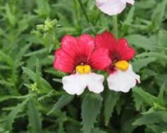 Nemesia 'Cherries A La Mode.' Another wow.