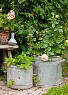 Tin pots are planted with roses and wild strawberries