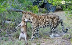 We were fortunate enough to watch Mahlathini stalk and catch a Duiker right in front of us.