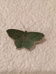 A Sussex Emerald I believe. Came into the house last evening. I live in Hailsham East Sussex