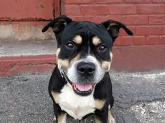 TO BE DESTROYED - TUESDAY - 4/8/14, URGENT - Brooklyn Center   BUD - A0995494   MALE, BLACK / TAN, PIT BULL MIX, 7 yr  STRAY - EVALUATE, NO HOLD Reason STRAY  Intake condition NONE Intake Date 04/02/2014,