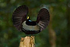 The Victoria's Riflebird bird of paradise, (Ptiloris victoriae) # щитоносная райская птица Виктории