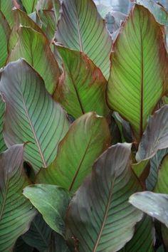 Canna indica 'Red Stripe' Juniper Level Botanic Gdn, NC 