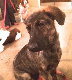 07/25/15-Meet Shadow *Courtesy Post*, a Petfinder adoptable Labrador Retriever Dog | Houston, TX | *Courtesy Post*Meet Shadow!!How this cutie is looking for a home, we will never know! Shadow was...