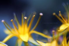 Estambres de flores de Sedum palmeri con polen (1/3)