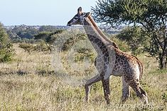 Photo about A juvenile giraffe in the Kruger Park - South Africa. Image of horned, isolated, camelopardalis - 43205196 Baby Photos, South Africa, Southern, Horses, Stock Photos, Park, Animals, Image, Baby Giraffes