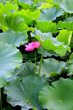 不忍池の蓮の花 2