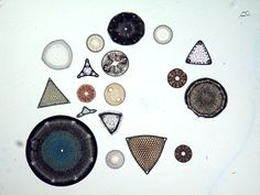 Cleaned Diatom Samples - Marine Diatom, the jewels of the ocean, are phytoplankton which together form the foundation of the marine food chain and produce half the world's oxygen. They are declining precipitously. http://www.theguardian.com/environment/2010/jul/28/phytoplankton-decline-nature