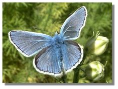 Butterflies of Scotland - Common Blue Common Blue Butterfly, Bee, Nature, Butterflies, Google Search, Honey Bees, Naturaleza, Bees, Butterfly