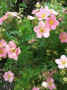 Potentilla fruticosa 'Pink Beauty' (Shrub) H/S 45cm to 75cm Fl. May throughout summer, best colour in shade. Deciduous.