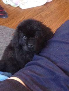 My Newfoundland puppy
