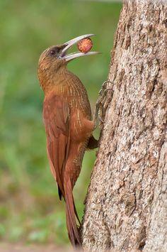 Foto arapaçu-do-campo (Xiphocolaptes major) por Paulo Fenalti   Wiki Aves -