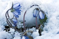 Finnish spring is short but full of wonders like this pretty flower raising its head in midst of snow. I Love Winter, Winter Snow, Winter White, Pretty Flowers, Blue Flowers, Winter Sunset, Flower Images, Winter Garden, Amazing Nature