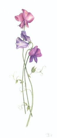 Watercolour sweet peas
