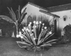 Cactus plant decorated for Christmas at a Beverly Hills home in Southern California - Christmastime 1929