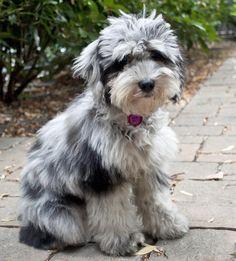 Fidget the Aussiedoodle -- Puppy Breed: Australian Shepherd / Poodle